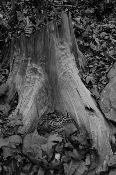 Rippled Stump - Eno River, Few's Ford Access<br /> best print size - 8x12 or 12x18