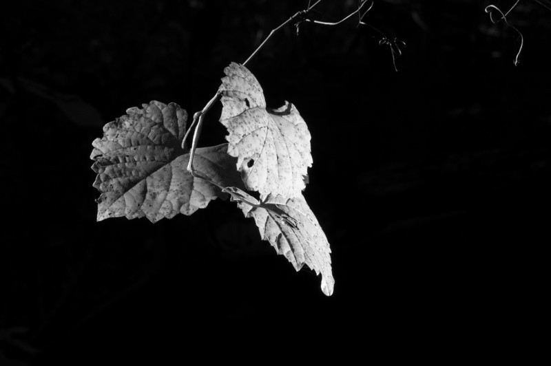 Grape leaves. This was taken in the ruins of an old farm along the Fall Lake trail. Also part of the Mountains To Sea trail.<br /> best print size - 8x12 or 12x18