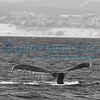 Humpback Whale Monterey Bay California