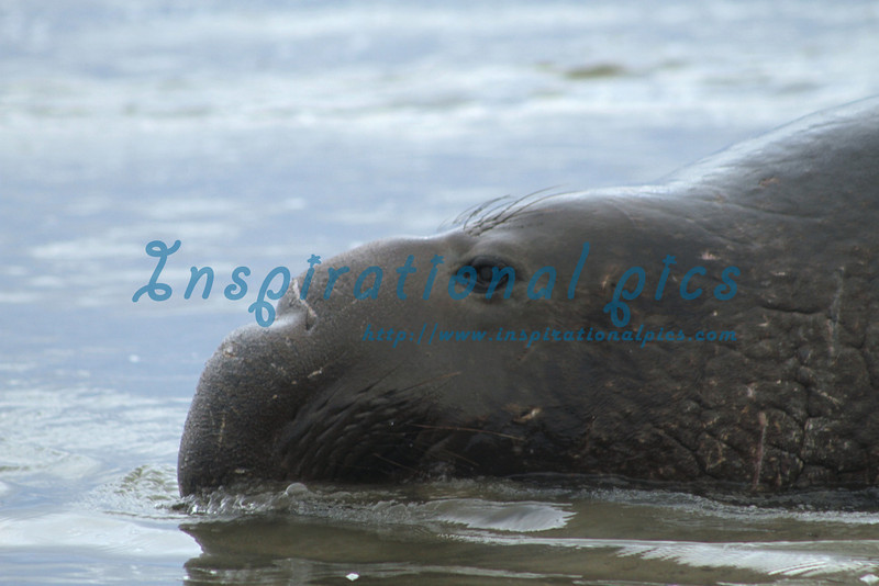 Elephant Seal at the Beach