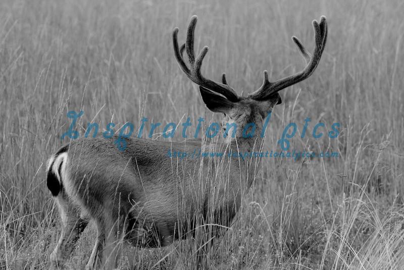 Yosemite Mule Deer