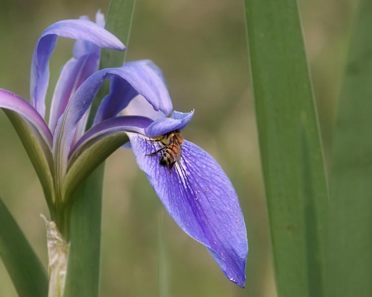 Blue flag iris and bee.