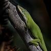 Little green gladiator.