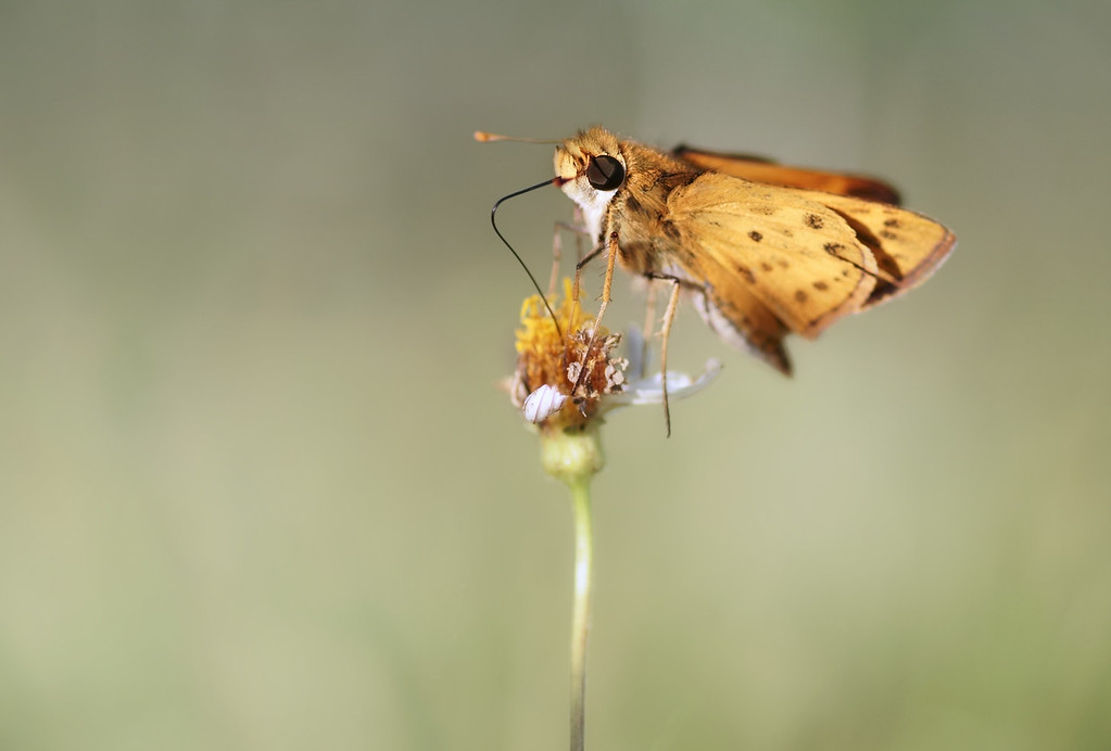 The whirlabout skipper is the butterfly with the happiest name.