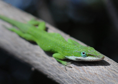 A handsome green anole (Anolis carolinensis) giving me a wary eye. I see fewer and fewer of these.