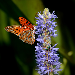 Gulf fritillary butterfly on a pickerelweed flower spike