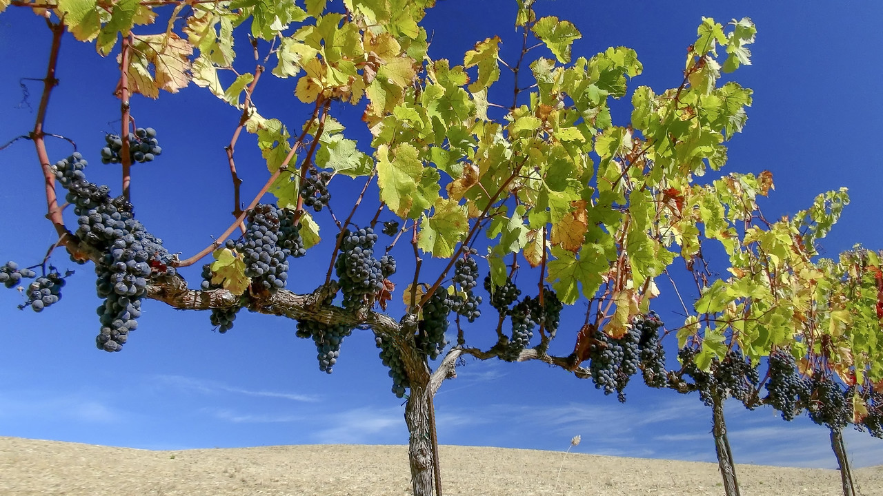 Napa Valley - Ready for Harvest