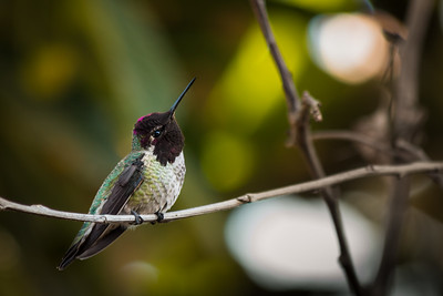 Curious Little Hummingbird