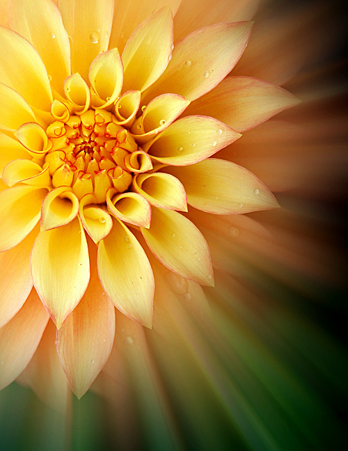 The Dahlia is the official flower of San Francisco