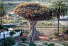 The Dragon Tree, Icod de los Vinos, Tenerife, Canary Islands