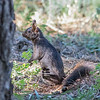 Abert Squirrel-0524
