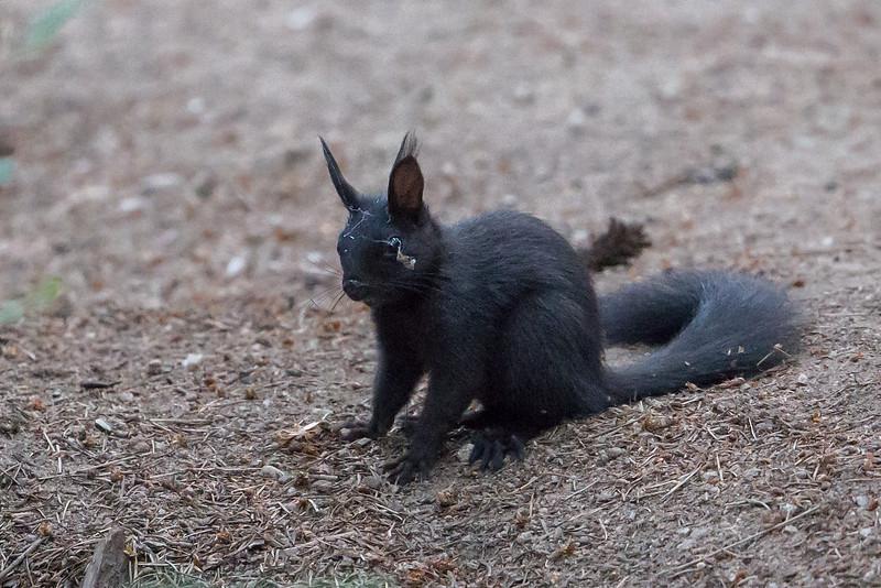 Abert Squirrel, Mt Falcon Park