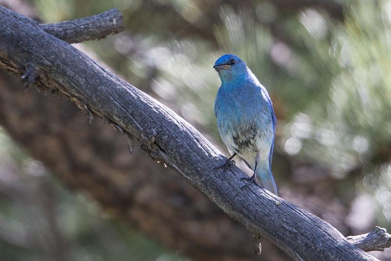 Mountain Bluebird, Mt Evans SWA