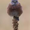 Western Bluebird, Mount Falcon Park