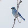 Mountain Bluebird, Chatfield State Park