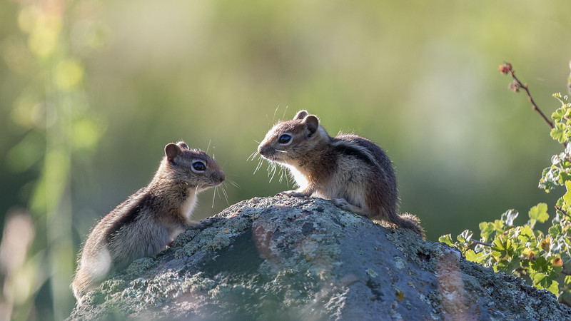 Golden-mantled Ground Squirrel, O'Fallon Park