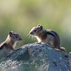 Golden-mantled Ground Squirrel, O'Fallon Park