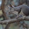 Abert Squirrel, Mount Falcon Park