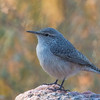 Rock Wren, Rocky Mountain Arsenal NWR