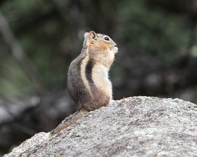 Golden-mantled Ground Squirrel, Alderfer Three Sisters Park