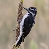 Hairy Woodpecker, Mount Falcon Park