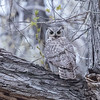 Great Horned Owl, Canon City Riverwalk