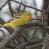 Western Tanager, Mount Falcon Park