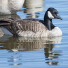 Cackling Goose, Belmar Park