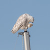 Snowy Owl, Boulder Reservoir
