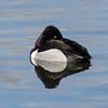 Ring-necked Duck, Belmar Park