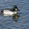 Common Goldeneye, Belmar Park