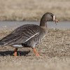 Greater White-fronted Goose, Clement Park