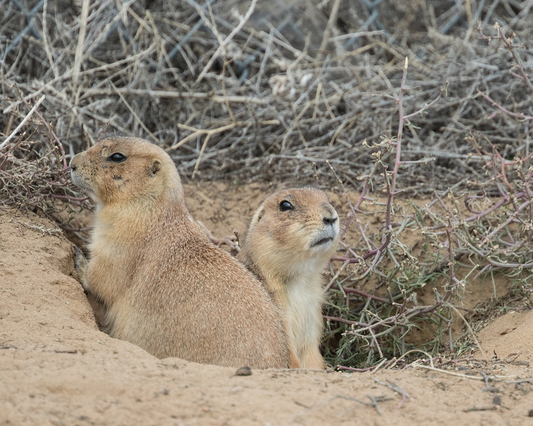Black-tailed Prairie Dog, !st Creek Open Space