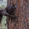 Abert Squirrel, O'Fallon Park