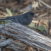Slate-colored (Dark-eyed) Junco with a bit of a white wing bar, O'Fallon Park