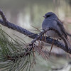 Dark-eyed Junco, O'Fallon Park