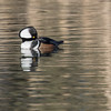 Hooded Merganser, Belmar Park