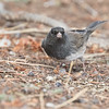 Dark-eyed Junco, Kittredge