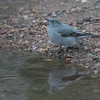 Townsend's Solitaire, Corwina Park
