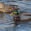 Mallard, Bear Creek Lake Park