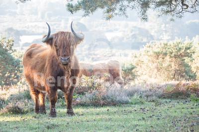 Highland Cow 2