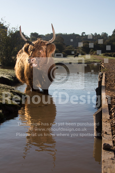 Highland Cow 13