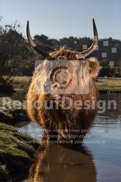 Highland Cow 17