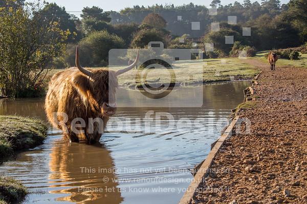 Highland Cow 9
