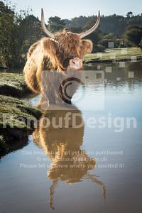 Highland Cow 11