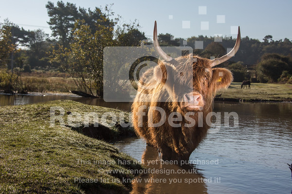 Highland Cow 14