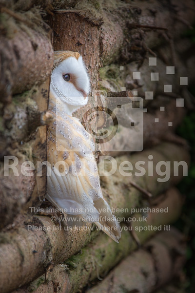 Barn Owl Looking Out