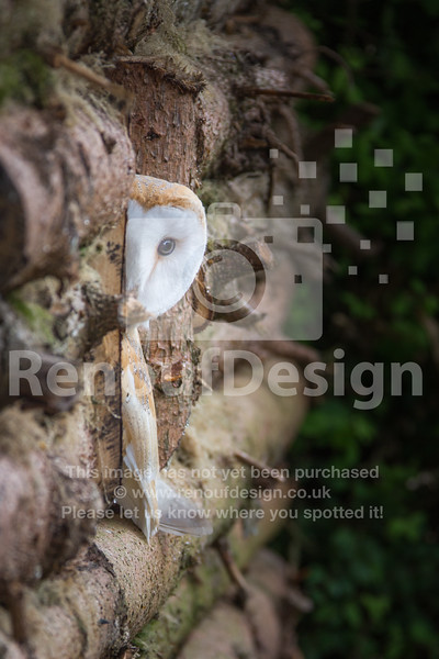 Barn Owl Peeking