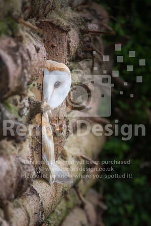 Barn Owl Peeking