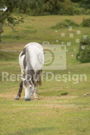 New Forest ponies, Lyndhurst